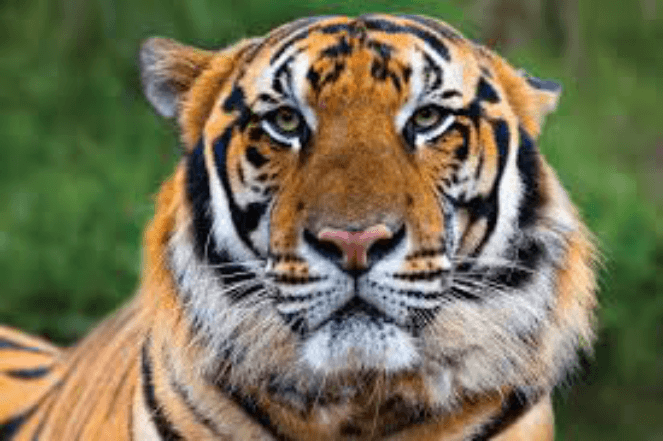 A serious orange and black striped tiger staring at the wild animal photographer's camera